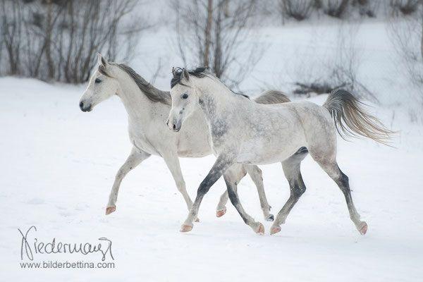 Araber Pferdefotografie Hundefotografie Fotografie Bettina