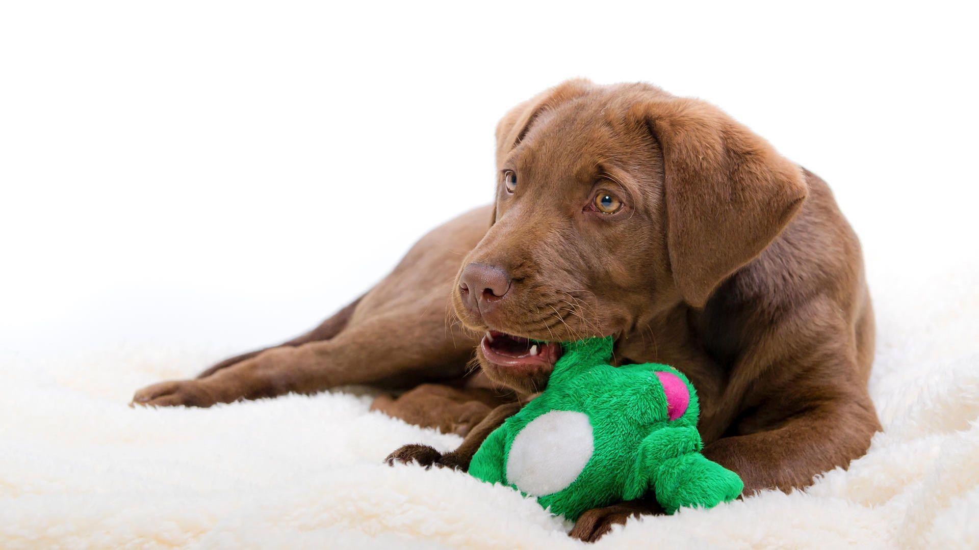 Mit Diesem Spielzeug Ist Ihr Hund Sinnvoll Beschaftigt Hunde Hundespielzeug Mittelgrosse Hunde