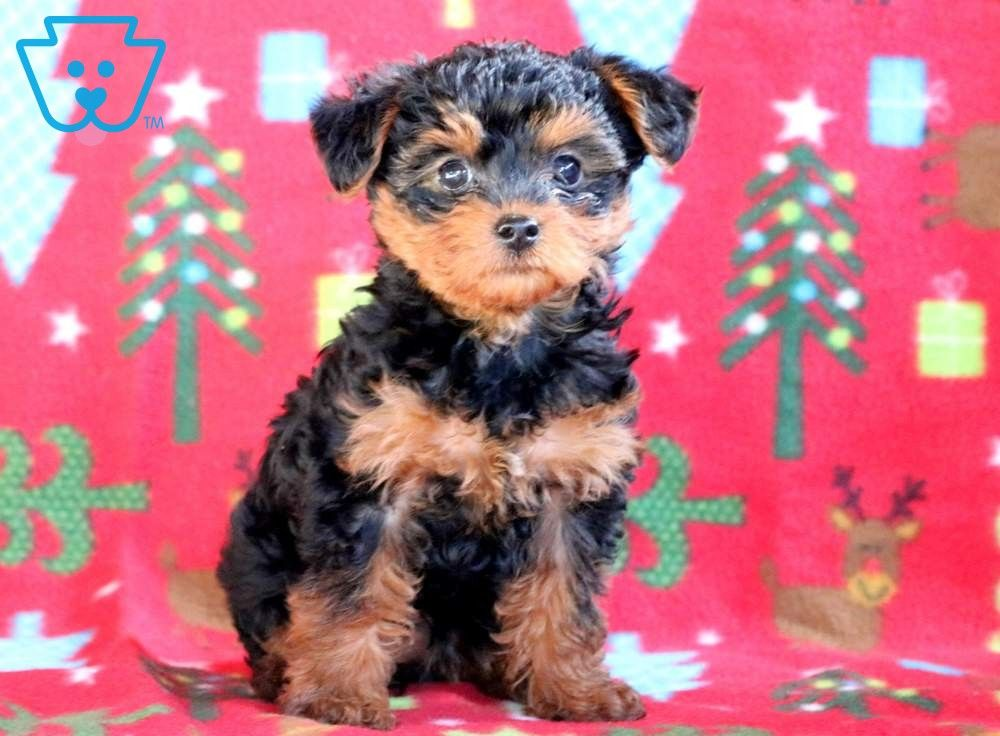 Angel Yorkie Poo Puppies Puppies For Sale Puppies