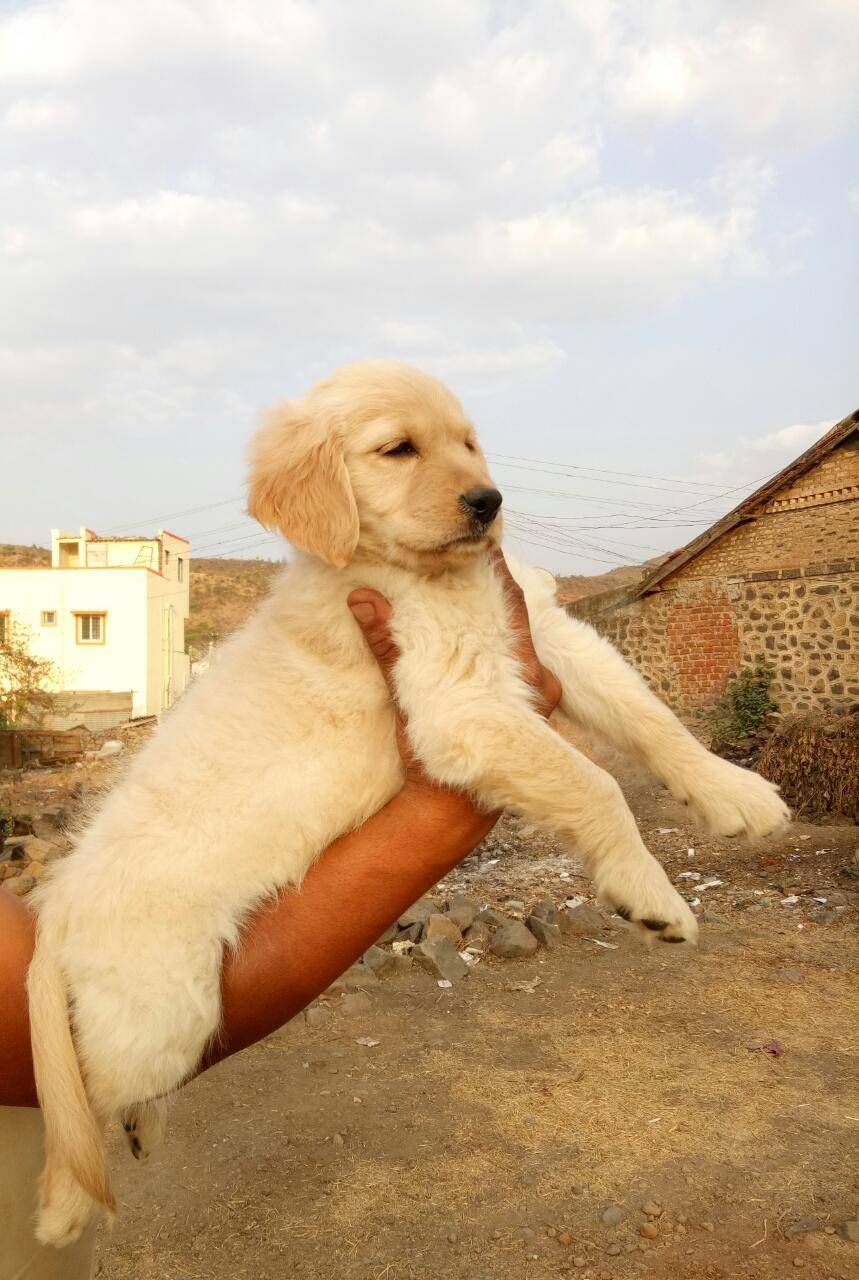 Golden Retriever Puppy In Pune Retriever Puppy Labrador Puppy