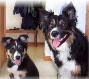 Tri Colored Border Collies Black With White Markings Tan