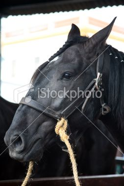 head of a lusitano horse