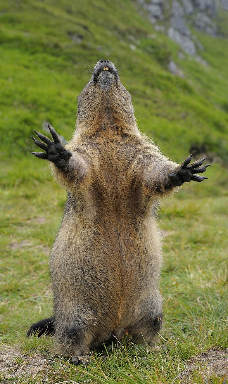 Alpine Marmot (Marmota marmota). Photo © dpa   13   Pinterest ...