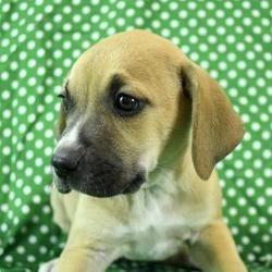 Morton Grove, IL - Boxer. Meet Zelda a Pet for Adoption. #mortongrove