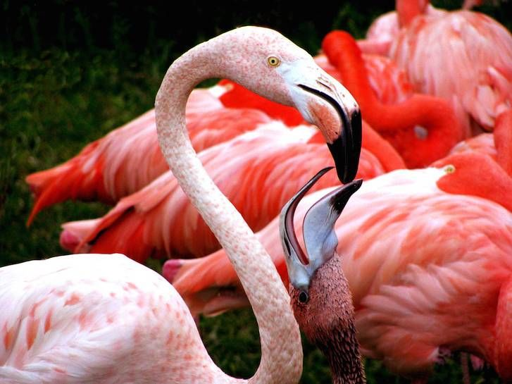 Flamingo feeding. credit: macadmer/Flickr