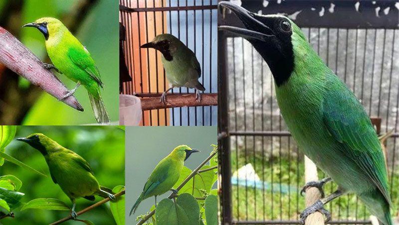 Bagi Pecinta Hewan Berkicau Pasti Tidak Asing Dengan Burung Cucak Ijo Banyak Diikutsertakan Dalam Perlombaan Sebab Burung Ini Memiliki Hewan Burung Habitat