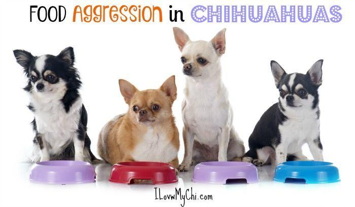 Food Aggression In Chihuahuas Chihuahua Chihuahua Pinterest