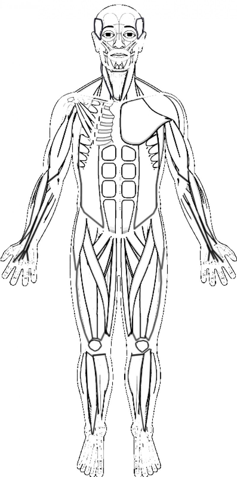 Human Muscles Coloring Key Skeleton Drawing Easy Muscle System