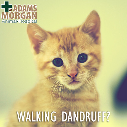 Walking Dandruff It S A Real Thing And It Can Drive Your Cat Crazy Find Out More Here And Then Schedule Their Next Checkup Cats Animals Cat Health