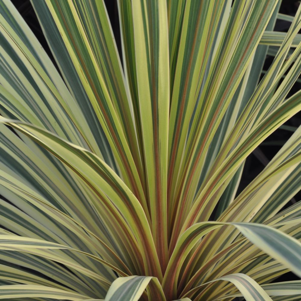 Stunning Rare Mountain Cabbage Tree 10 Fresh Seeds Cordyline Indivisa