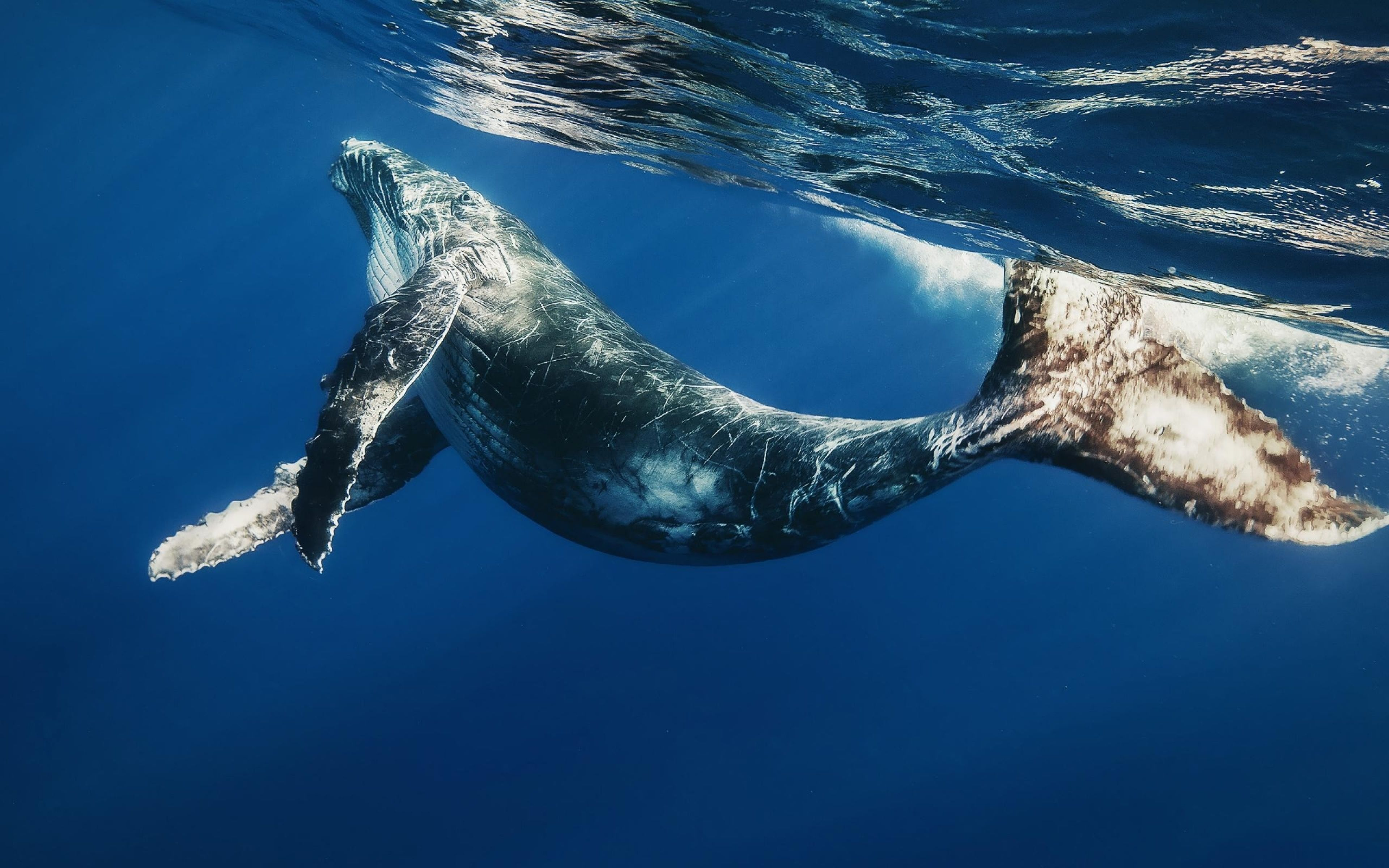 Download Wallpaper 3840x2400 Whale Swimming Underwater