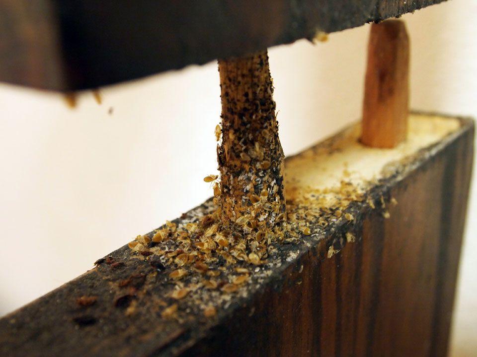 Bed Bug Infestation On Furniture Bed Bugs Treatment Bed Bugs Bed Bugs Infestation