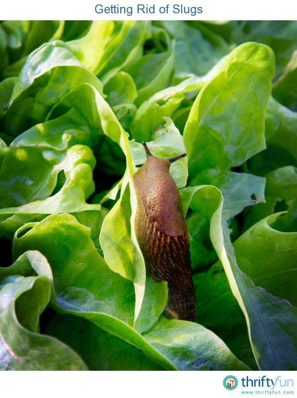 Enjoy Gardening Without The Breaking Your Back With This: Getting Rid Of Slugs