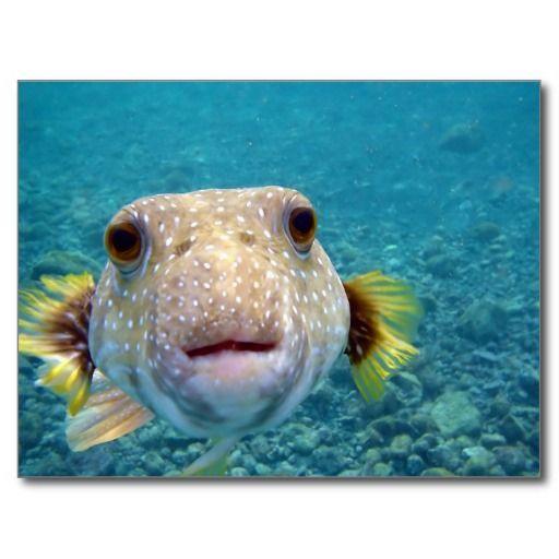 Up Close Face Of A Puffer Fish Arothron Hispidus Postcard Zazzle Com Animals Poisonous Animals Cute Animals