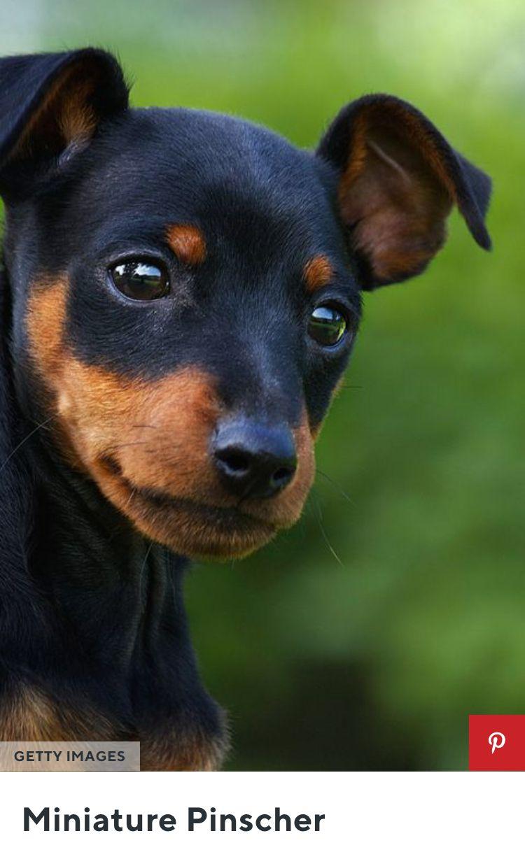Minpin Miniature Dog Breeds Dog Breeds Toy Dog Breeds