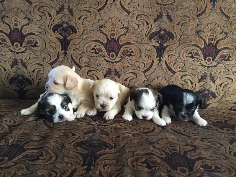 Smorkies 2 Left Reduced Price Yorkie Puppies Animals