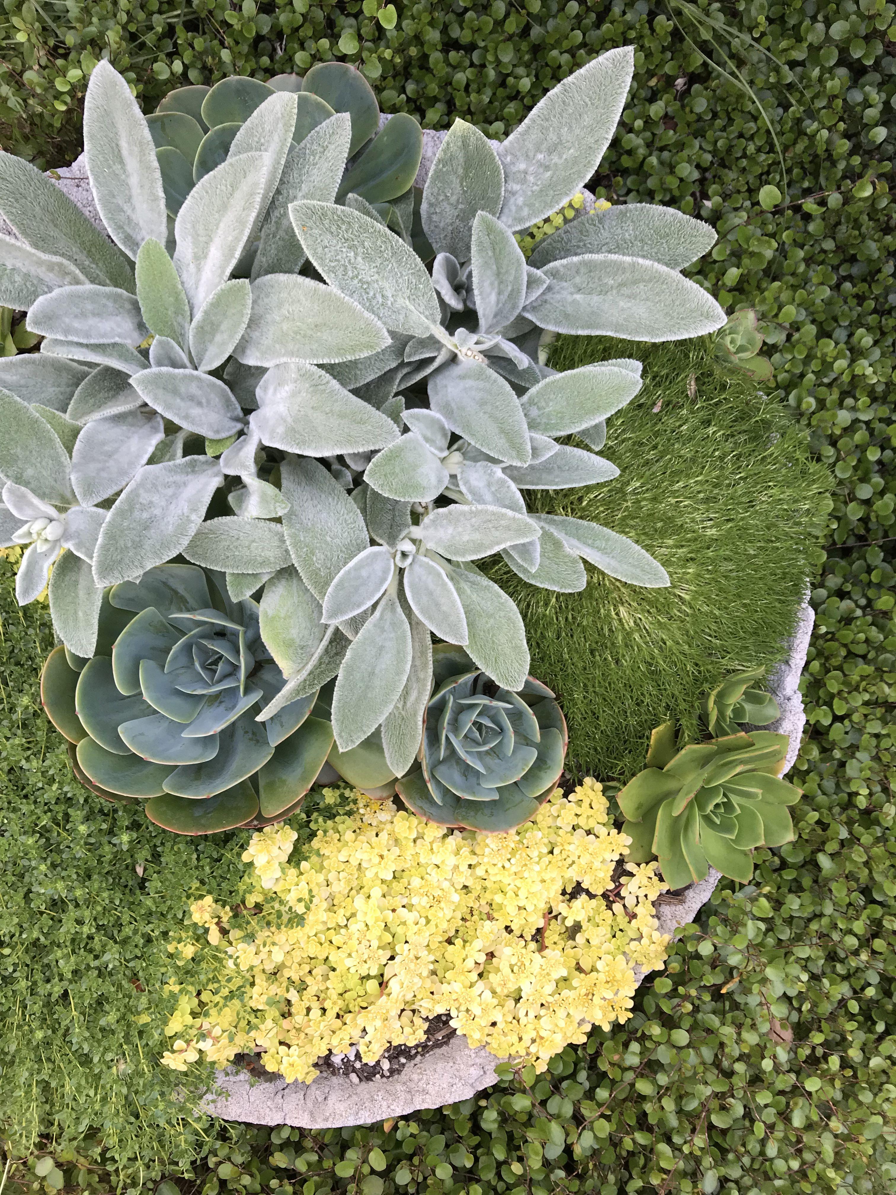 Succulents Moss Lambs Ear Succulents Garden Plants