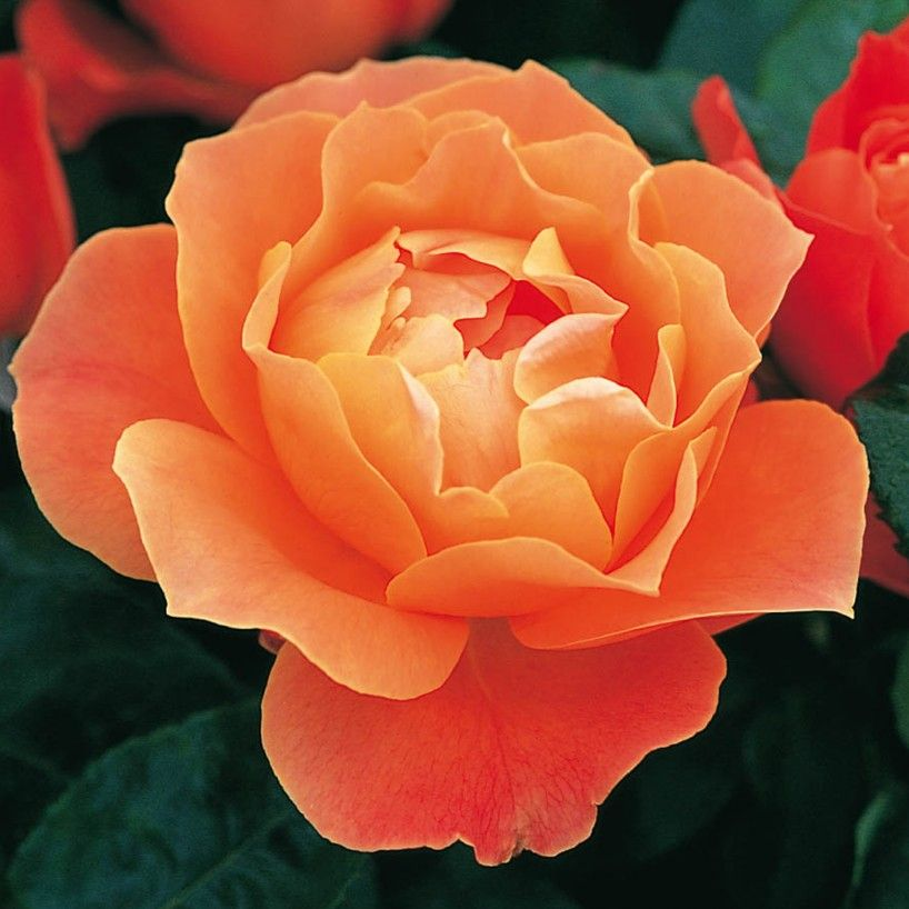 Fellowship david austin roses container roses rooting