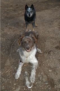 Boomer the Blue Heeler and Moe the Wolfhound/Australian Shepard cross...good bull dog!  Photo by Valerie Gatto