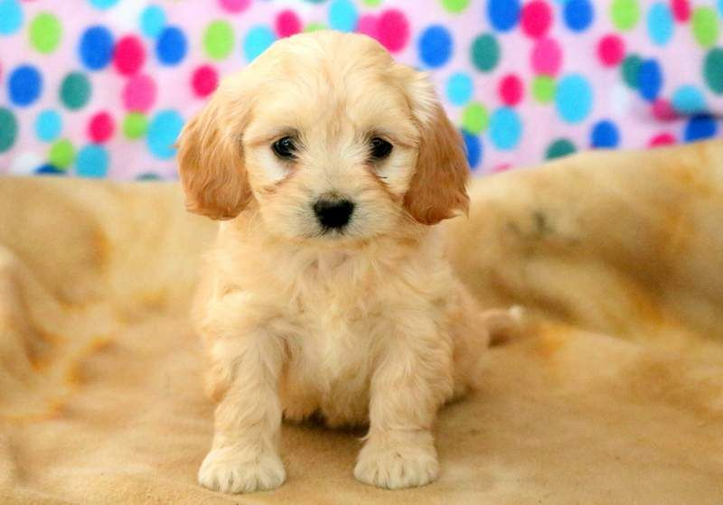 Pin On Cavachon Puppies