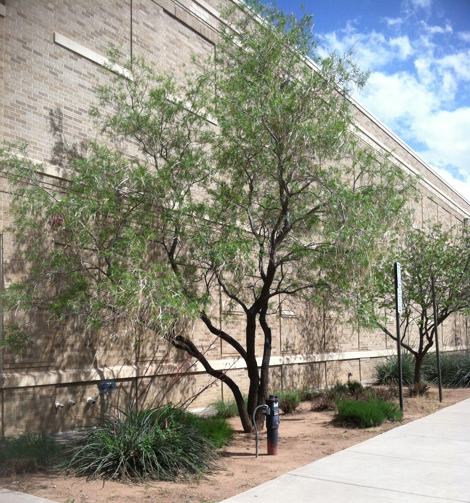 Desert Willow Tree Problems Good Pictures Of The