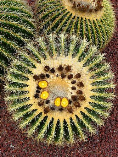 Circle cactus | Cactus plants, Cactus, Blooming succulents
