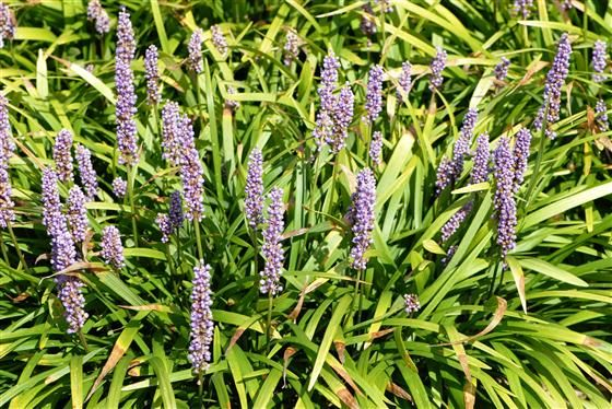 Image of 'liriope muscari lilac beauty'