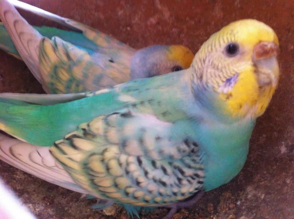 I like the effect of the Opaline and Spangle on these budgie's wings.