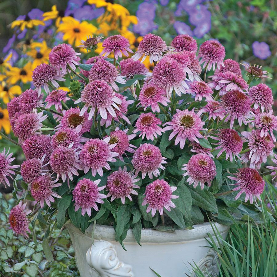 Butterfly Kisses Echinacea Coneflower Plant -- I'm in love with echinacea this year and this one has everything I'm looking for -- love the size and thought of putting it in a container!