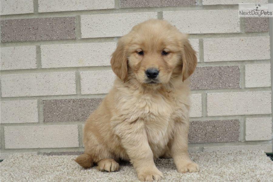 Golden Retriever Puppy For Sale Near South Bend Michiana