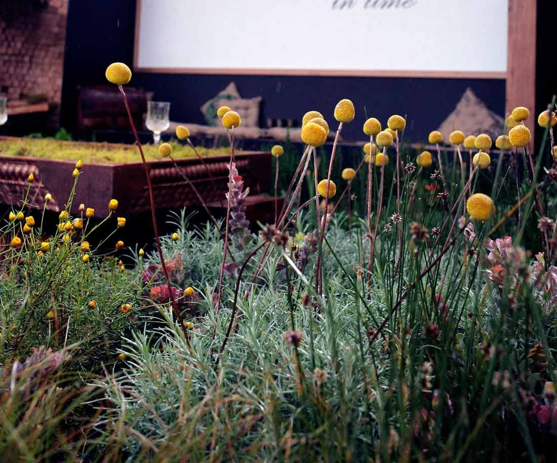 Design Landscape Plant Design Landscape Design Billy Buttons