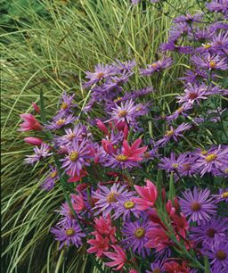 1. Japanese sedge (Carex morrowii cv.,  Z 5–9) 2. 'Mönch' aster (Aster X frikartii 'Mönch', Z 5–8) 3. 'Oregon Sunset' crimson flag (Schizostylis coccinea 'Oregon Sunset', Z 7–9)