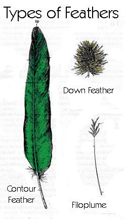types of feathers and their growth patterns