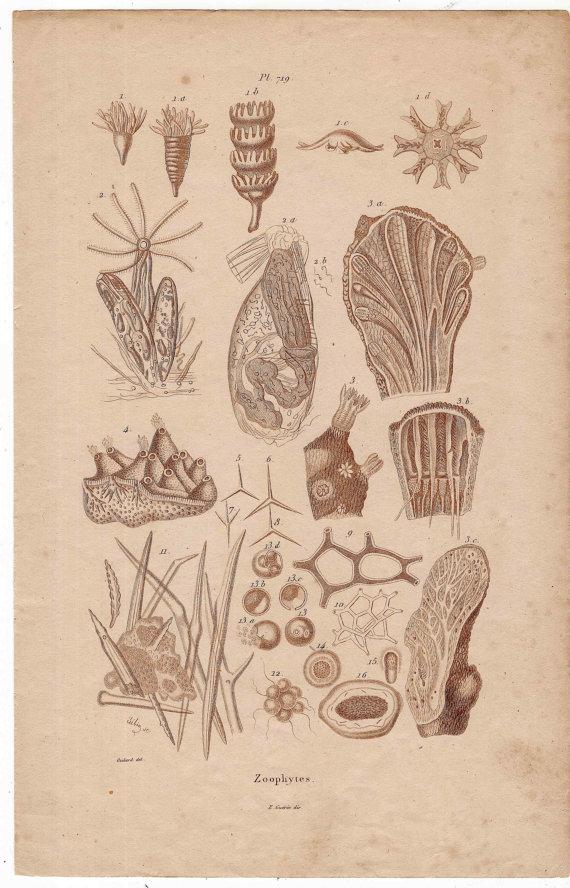1835 ZOOPHYTES original antique anatomy print   Curioser and ...