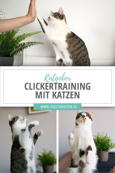 Photo of Entrenamiento clicker con gatos