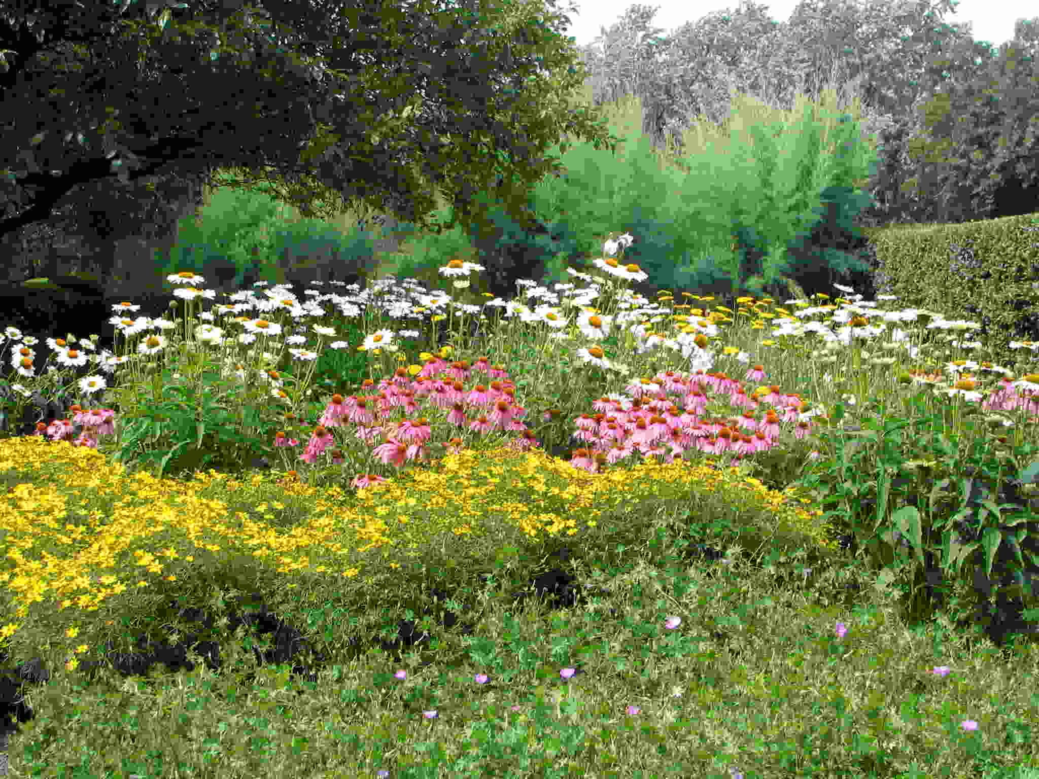 using the colorblocking trend in garden design drifts of white shasta daisies pink