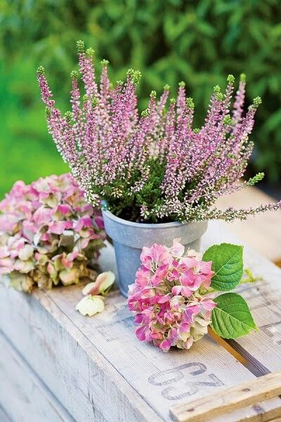 Pin By Lynn Yang On Garden Outdoor Heather Flower Flower Seeds Raindrops And Roses
