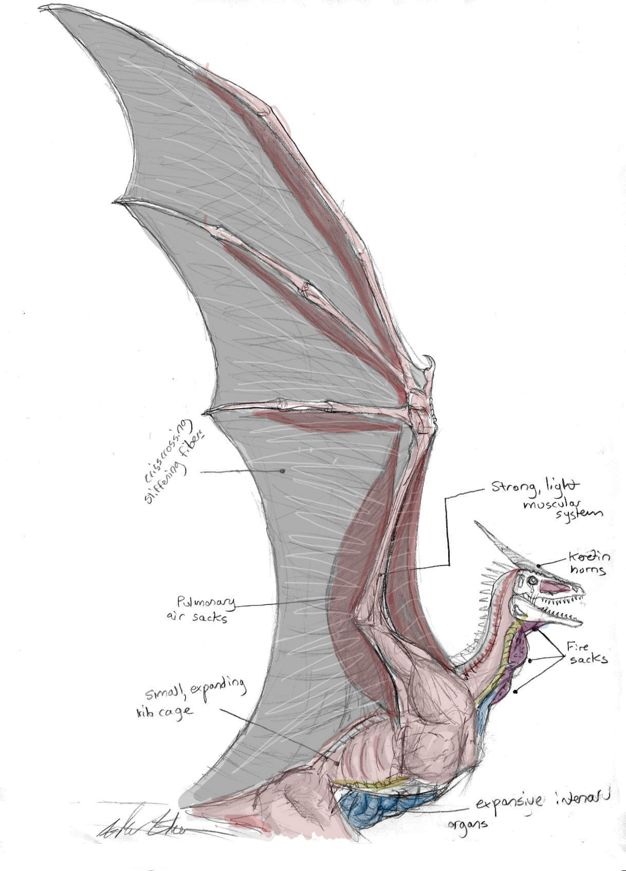 Dragon Wing and Chest Anatomy by Ashere.deviantart.com   Dragones ...