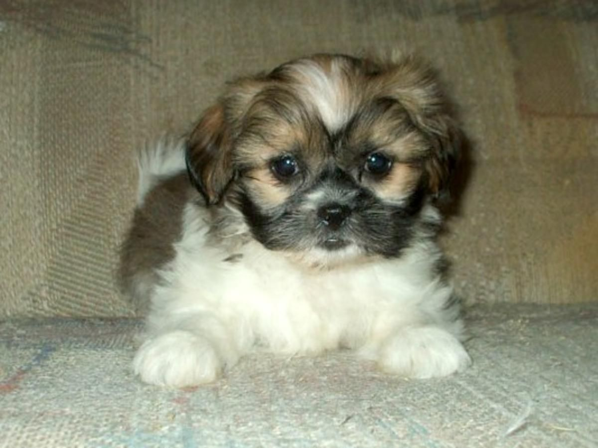 Full Grown Shih Tzu Yorkie Mix Havanese Dogs Shichon Puppies Havanese