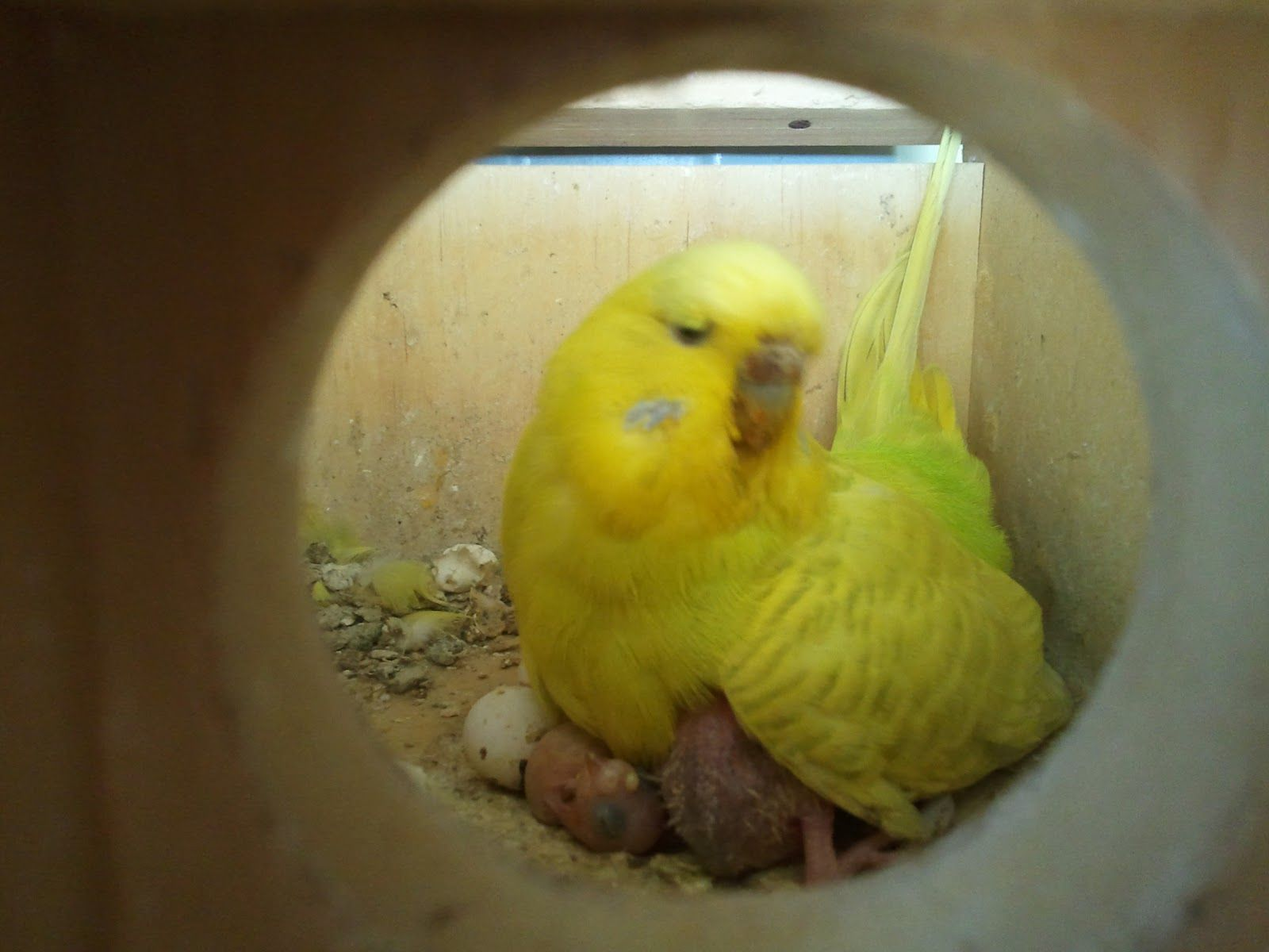 Mummy budgie looking after her new born baby budgies  This