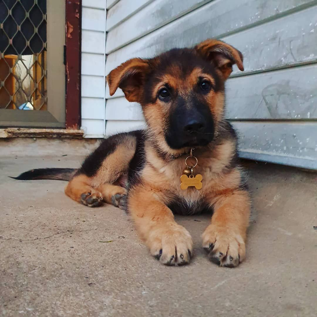 Gsd Puppy Baby Dogs Gsd Puppies Cute Dogs