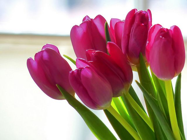 Tulips  My favorite  Planted the Queen of Night and can t wait till    Hot Pink Tulip Bouquets