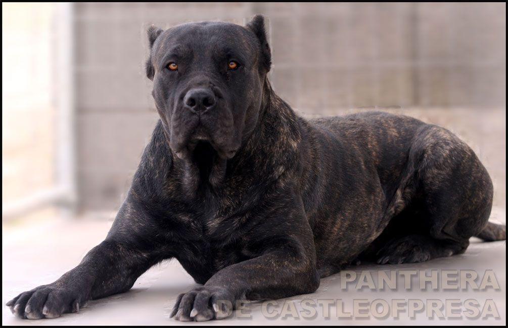 Presa Canario Such A Beautiful Breed Unconditional