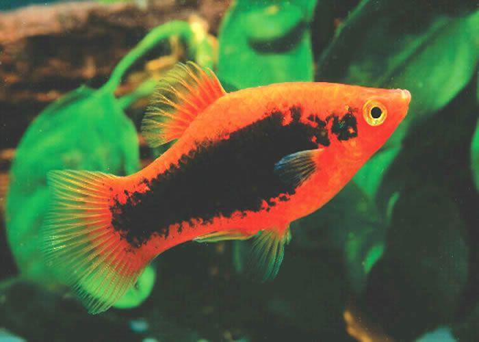 Platy green google search fish tank pinterest fish for Platy fish breeding