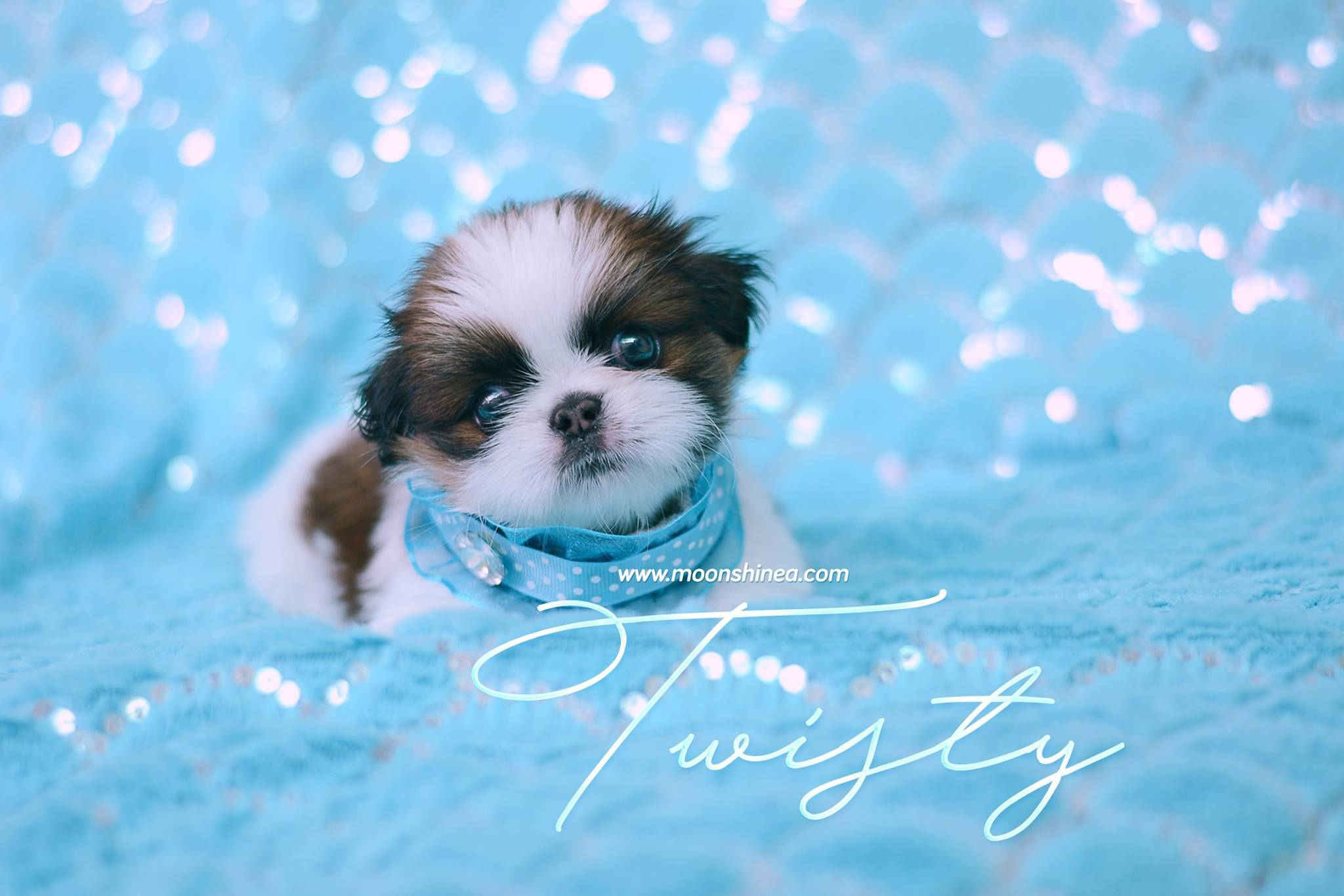 Www Moonshinea Com Shih Tzu Puppies Cute Puppies