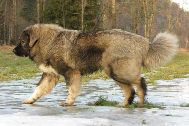 Our Caucasian Shepherd Dogs Caucasian Shepherd Dog Caucasian Shepherd Dogs