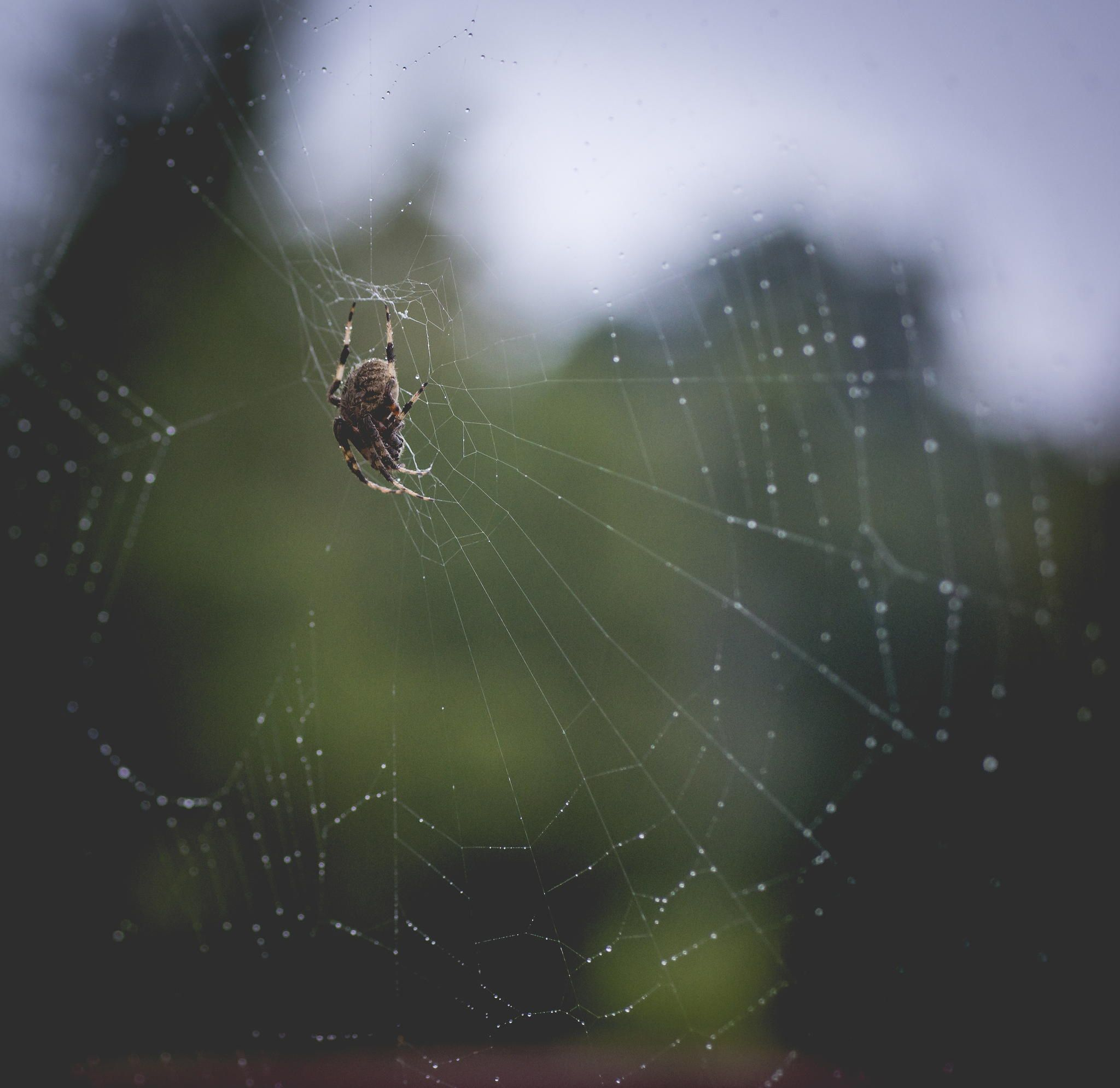 Charlotte - Spider repairing web covered in dew drops