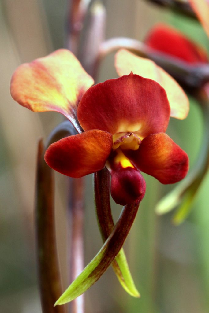 Another Color-form of the Common Donkey-Orchid [Diuris] - Flickr - Photo Sharing!- Flickr - Photo Sharing!