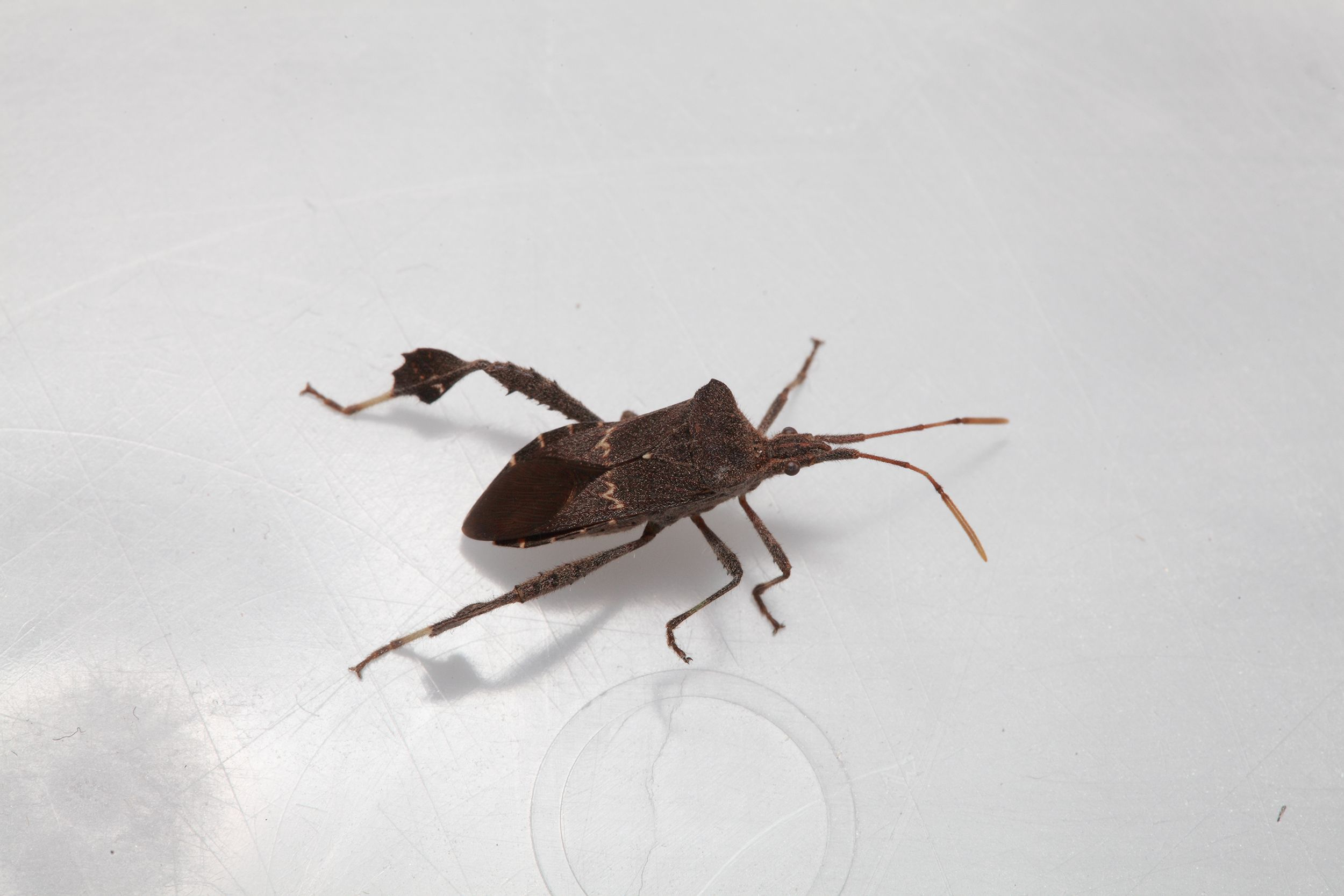 This Is Not A Kissing Bug But Look To See Others Kissing Bugs