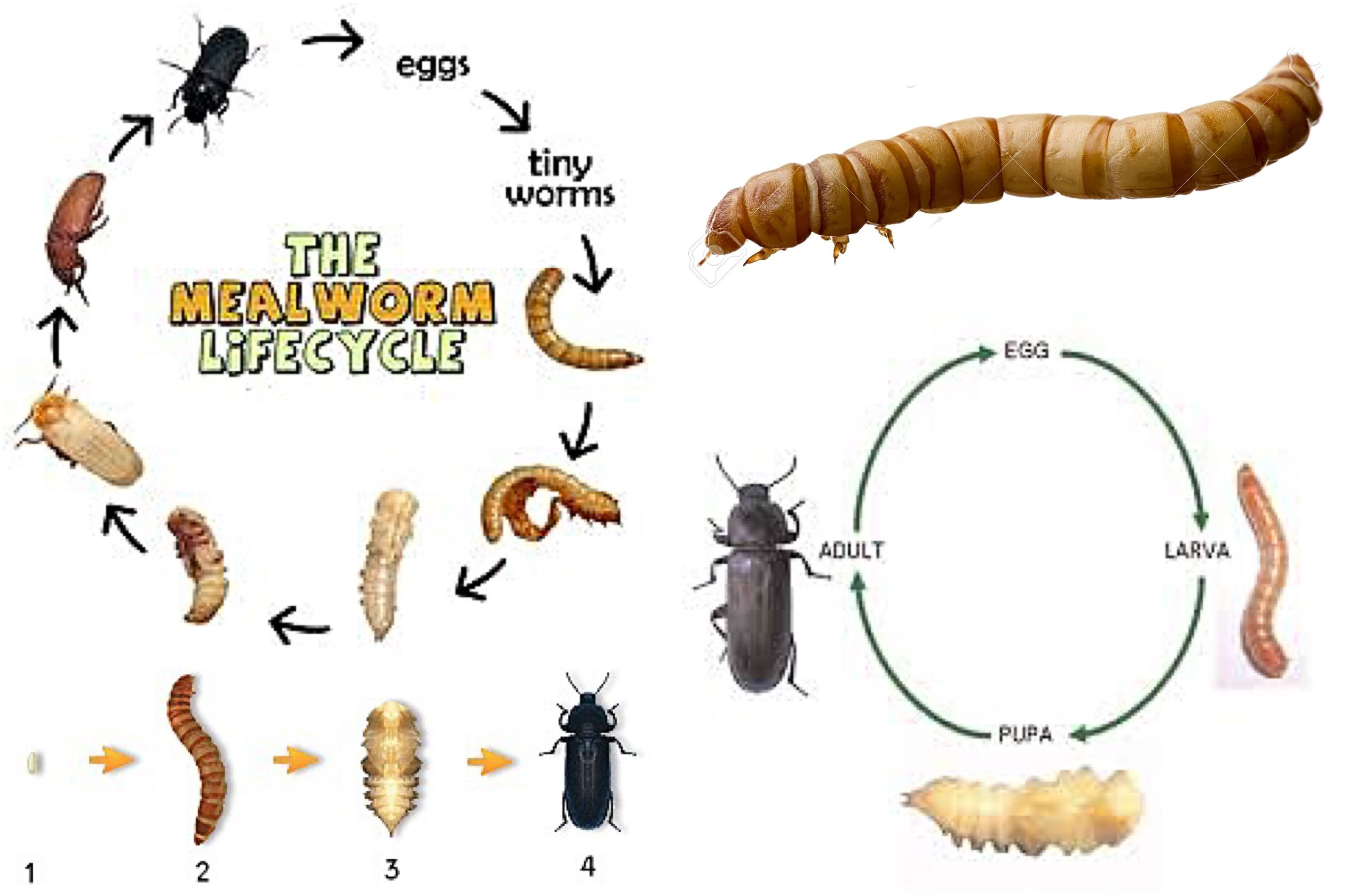 The Mealworm Life Cycle